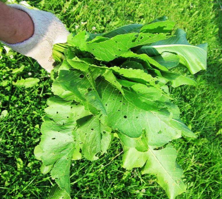 Хрена полный огород — не ленись, хреном лечись! Очищает сосуды, лечит гипертонию, стенокардию и желчный пузырь